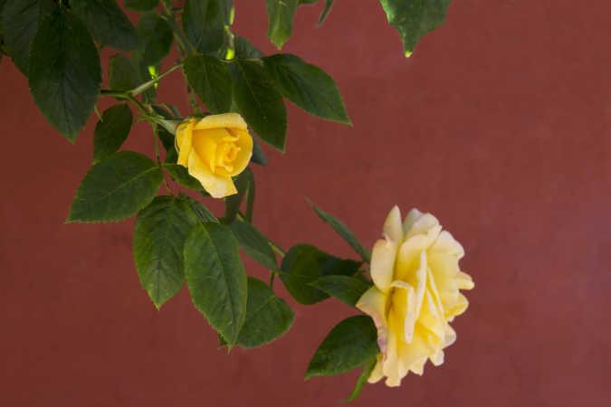 Rose Ribe 0107-2015
