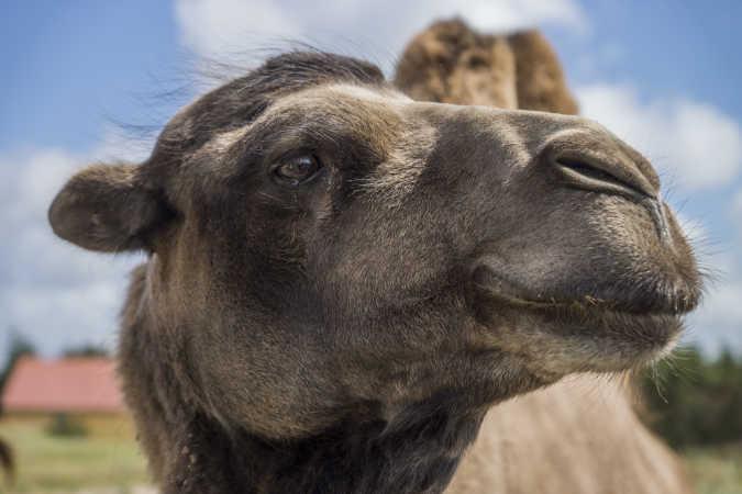 Nysgerrig Kamel