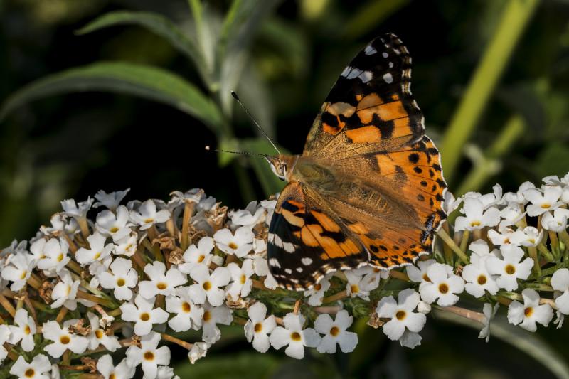 Sommerfugl 2208-2015