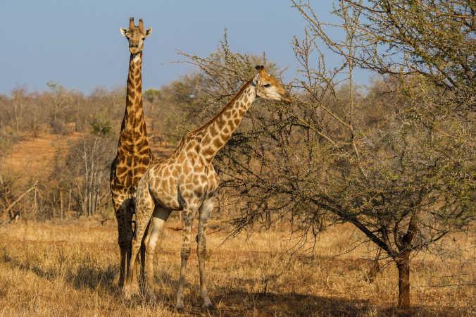 Giraf-25