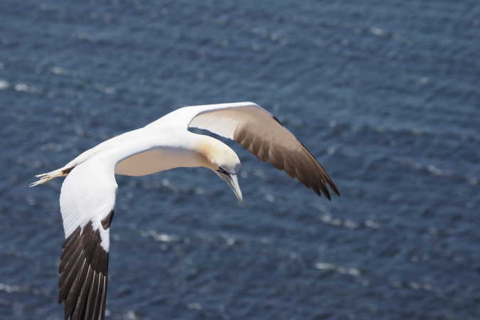 Sule ved Helgoland