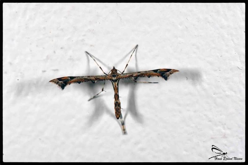 en sommerfugl art