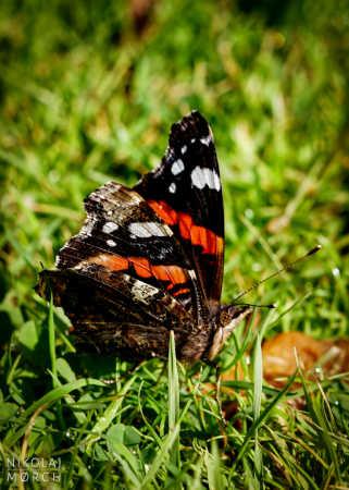 Sommerfugl i Gråsten