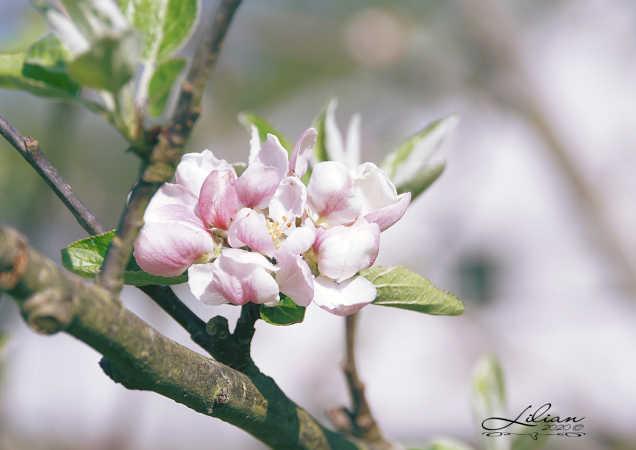 æbleblomst