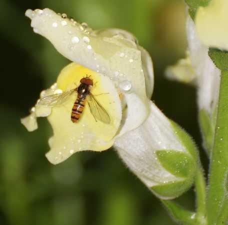insekt på blomster besøgSC02016