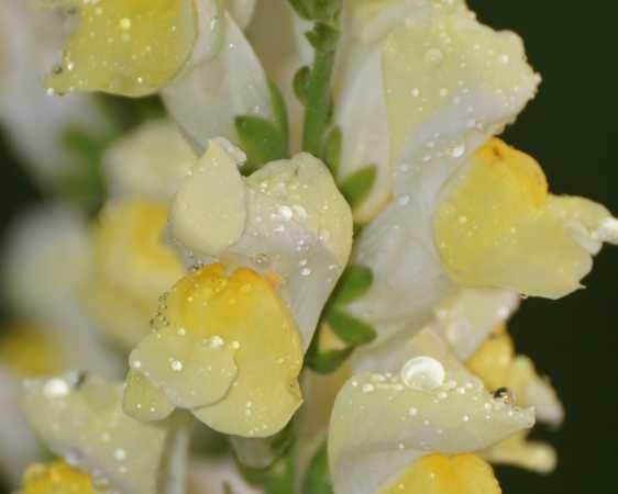 blomst efter regnvejr fra havenDSC02025