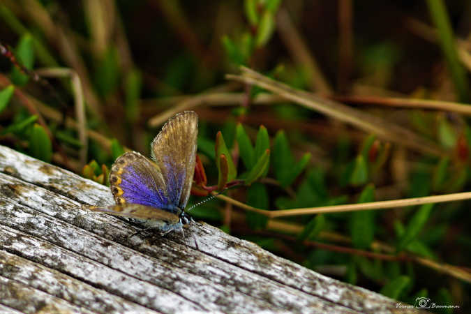Lille Bølleblåfugl