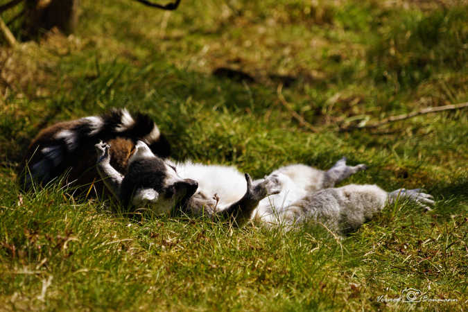Træt Lemur