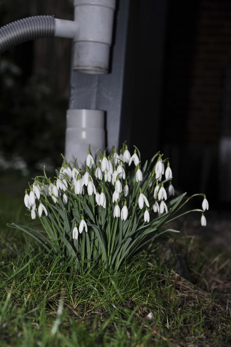 bevis, foråret kommer, allerede i år d. 24/2